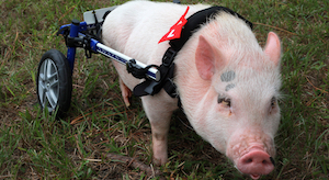 In a patch of grass, a small pig stands at an angle facing the camera. A pair of wheels is attached to a harness around his shoulders, serving as his back legs.